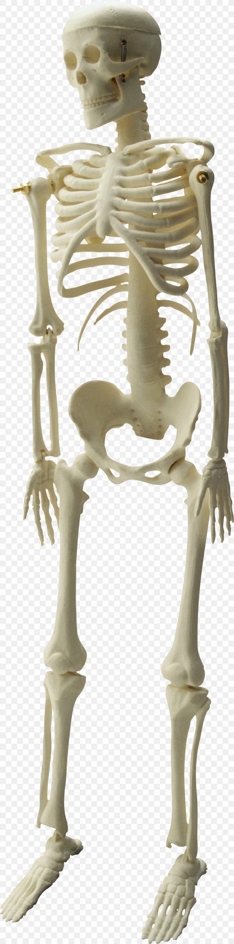 Human Skeleton Skull, PNG, 821x3305px, Skeleton, Bone, Classical Sculpture, Endoskeleton, Exoskeleton Download Free