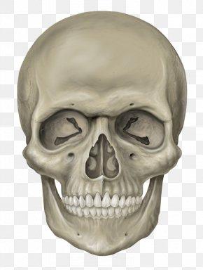 Skeleton Head Free Download - Skull Human Skeleton PNG