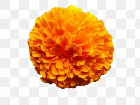 Marigold Flower - Mexican Marigold Flower Calendula Officinalis Orange PNG