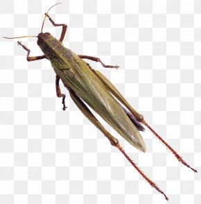 Insect Grasshopper Animal - Caelifera Beetle Animal Locust Butterfly PNG