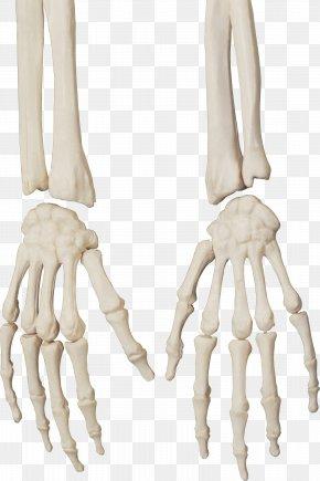 Bones - Human Skeleton Bone Skull PNG