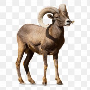 Sheep - Barbary Sheep Argali Goat Cattle PNG