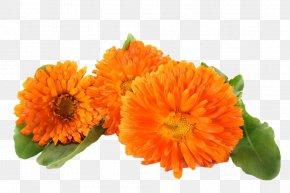 Yellow Chrysanthemum - Mexican Marigold Chrysanthemum Stock Photography PNG