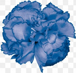Carnations - Blue Rose Garden Roses Cabbage Rose Carnation Cut Flowers PNG