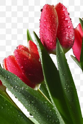 Red Tulips With Water Droplets - Drop Tulip Red Flower PNG