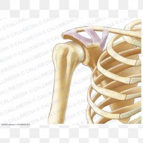Arm - Anatomy Shoulder Coronal Plane Human Skeleton Bone PNG
