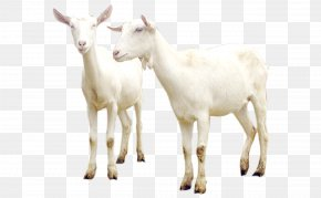 Goat - Sheep–goat Hybrid Sheep–goat Hybrid Cattle PNG