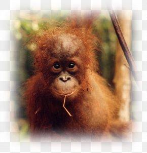 Orangutan - Baby Orangutans Desktop Wallpaper Display Resolution Wallpaper Group PNG