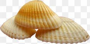 Seashell - Cockle Mollusc Shell Conchology Seashell Clip Art PNG