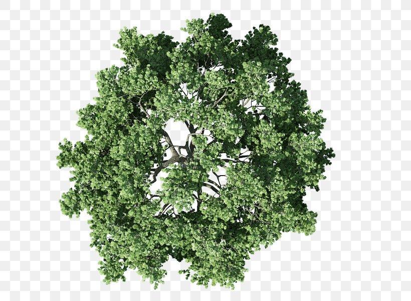 Tree Plan Shrub, PNG, 800x600px, Tree, Architecture, Branch, Cedar, Drawing Download Free
