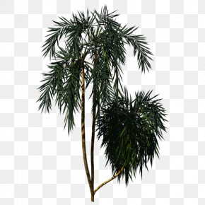 Tree - Asian Palmyra Palm Arecaceae New Zealand Cabbage Tree Plant PNG