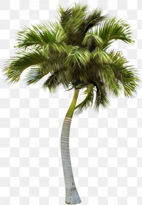 Palm Trees - Asian Palmyra Palm Palm Trees Image PNG