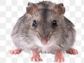Mouse Rat Image - Mouse Rat Clip Art PNG
