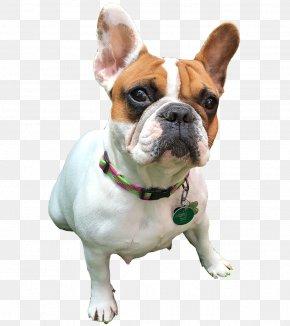 Bulldog - French Bulldog Olde English Bulldogge Toy Bulldog Old English Bulldog PNG