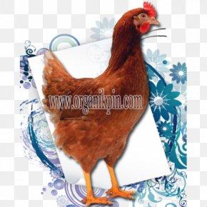 Rhode Island Red - Rooster Rhode Island Red Leghorn Chicken Malay Chicken Breed PNG