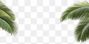 Palm Tree - Arecaceae Asian Palmyra Palm Howea Forsteriana Tree Leaf PNG