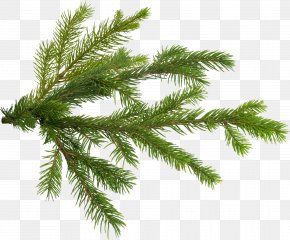 Pine - Pine Tree Branch Fir PNG