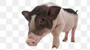 Pet Pig - Large White Pig Vietnamese Pot-bellied Meishan Pig Tamworth Pig Pet PNG