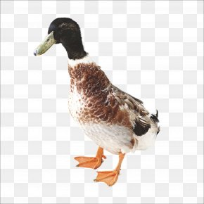 Duck - Duck Chicken Domestic Goose PNG