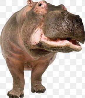 Hippo - Pygmy Hippopotamus Stock Photography Hippopotamus Gorgops Illustration PNG