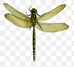 Dragonfly - Dragonfly PNG