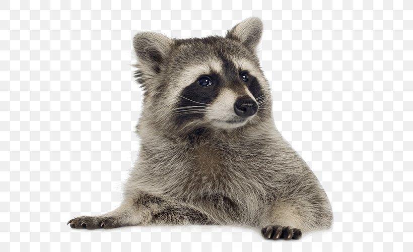 Raccoon Clip Art, PNG, 600x500px, Raccoon, Carnivoran, Drawing, Fauna, Fur Download Free