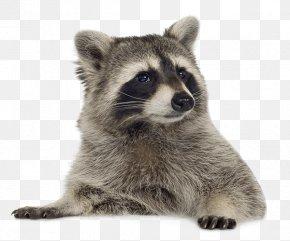 Cute Little Raccoons - Raccoon Clip Art PNG