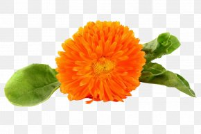 Orange Marigold Picture - The Bhagvadgita The Nature Cure Thought PNG