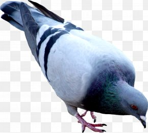 Pigeon Image - Oriental Roller Domestic Pigeon PNG
