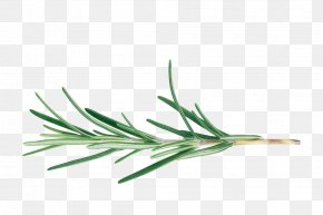 Biological Rosemary Grass - Rosemary BBC Gardeners' World Cut Flowers Herb Officinalis PNG