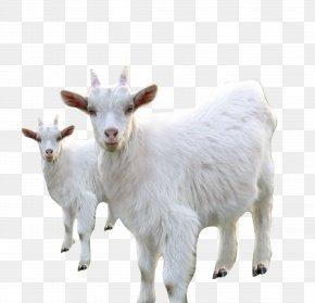 White Goat Sheep - Goat Sheep Milk Livestock PNG