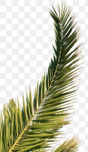 Leaf - Arecaceae Palm Branch Leaf PNG