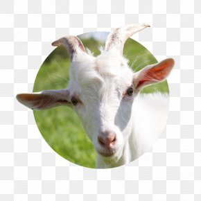 Goat - Goat Milk Goat Cheese Sheep Cattle PNG