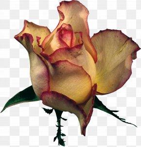 Rose - Garden Roses Petal Flower Clip Art PNG