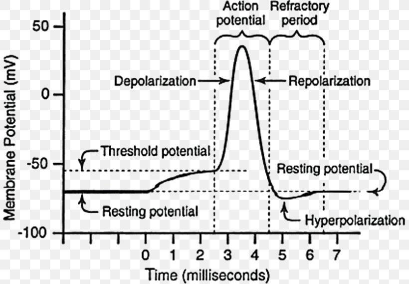 Resting Potential Action Potential Neuron Membrane ...