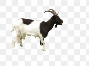 Goat Free Download - Black Bengal Goat Sheep PNG