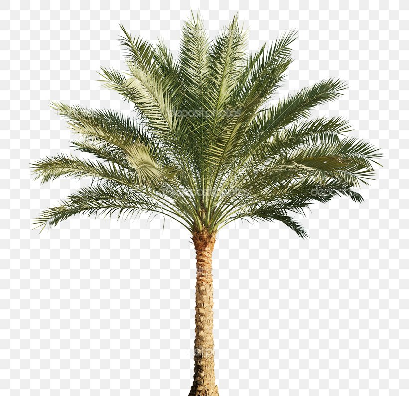 Arecaceae Stock Photography Tree Pygmy Date Palm Png 753x795px Arecaceae Arecales Attalea Speciosa Caryota Coconut Download Attalea martiana, attalea oleifera, attalea speciosa. arecaceae stock photography tree pygmy
