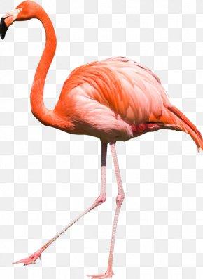Flamingo - Bird Flamingos PNG