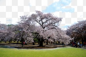 Tokyo Sakura Photos - National Cherry Blossom Festival Tokyo PNG