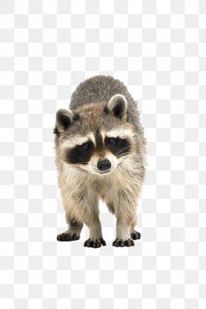 Raccoon - Raccoon Cuteness Icon PNG