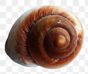 Sea Shell - Snail Sea Urchin Seashell PNG