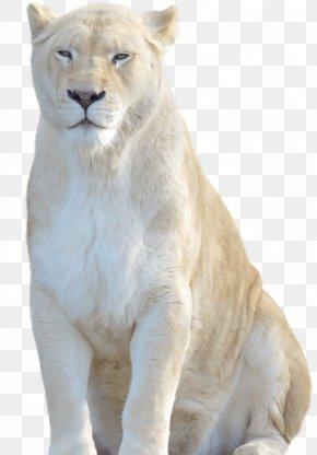 Lion - White Lion Cheetah Felidae Tiger PNG