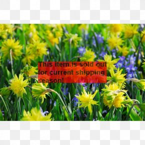 Daffodil Narcissus Gardening Bulb Rock Garden PNG