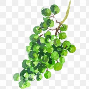 Raisins Feuilles - Grape Green Image Watercolor Painting Drawing PNG