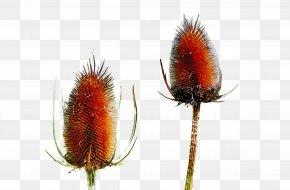 Flowering Plant Flower - Teasel Plant Flower Flowering Plant PNG