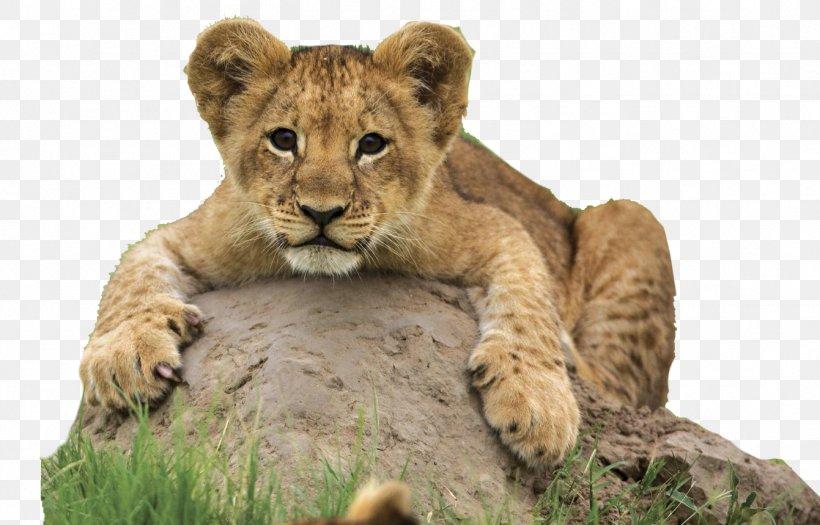 Desktop Wallpaper Cheetah Lion Animal High Definition Video Png 1341x860px 4k Resolution Cheetah Animal Big Cats