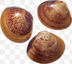 Seashell - Seafood Clam Seashell Scallop PNG