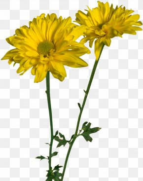 Spring Flowers - Daisy Family Oxeye Daisy Glebionis Coronaria Cut Flowers PNG