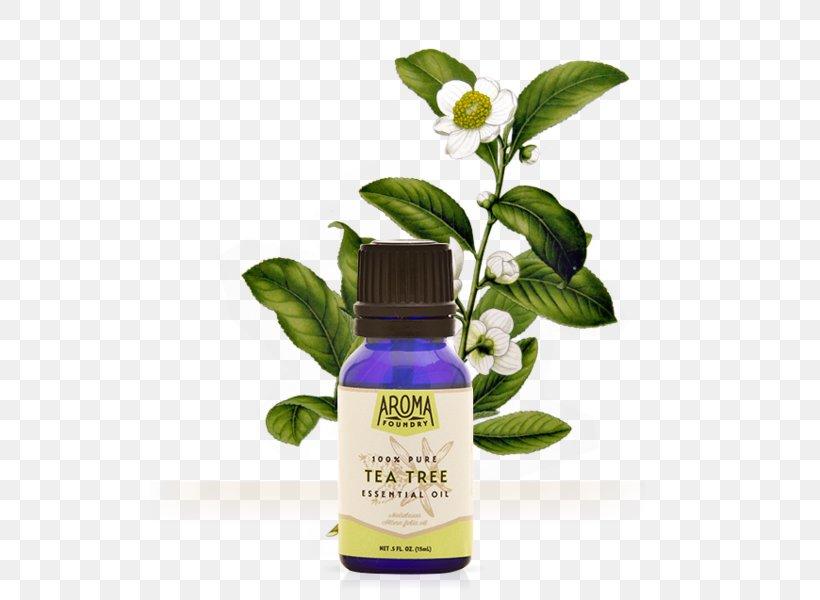 Tea Tree Oil Camellia Sinensis Herbal Tea Essential Oil, PNG, 559x600px, Tea, Camellia Sinensis, Essential Oil, Flavor, Head Louse Download Free