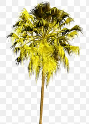 Tree - Asian Palmyra Palm Tree Arecaceae Plant Clip Art PNG